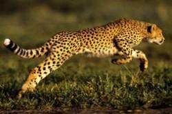 猫科动物奔跑速度排名 猎豹时速可达115公里