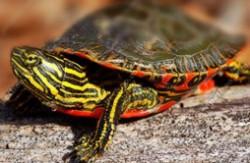 十大最有灵性的龟排名 哪种龟最有灵性互动性最好