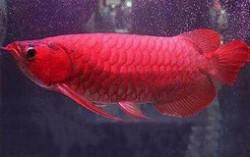 世界十大最贵观赏鱼排行榜 血红鱼高达409万