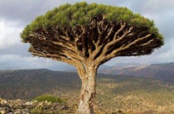 全球十大寿命最长的植物 龙血树只排倒数第三