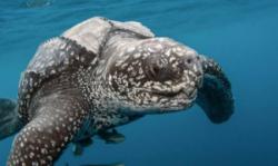 世界上体型最大的海龟 长达3米重800-900公斤