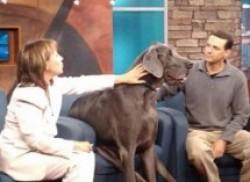 世界上最大的狗 大乔治高度:109厘米;体重:111千克