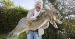 世界上最大的兔子 大流士兔子体长:1.22米;体重:45斤