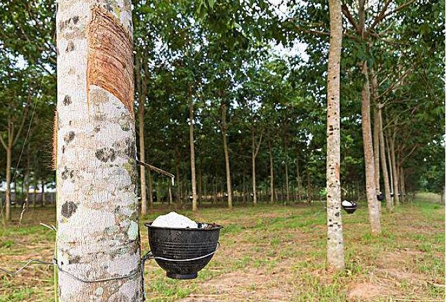 全球十大橡胶产国 泰国位列世界第一,中国排名第五